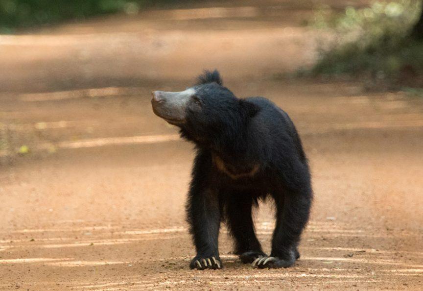 Наблюдение за дикими животными - лучшие национальные парки Шри Ланки