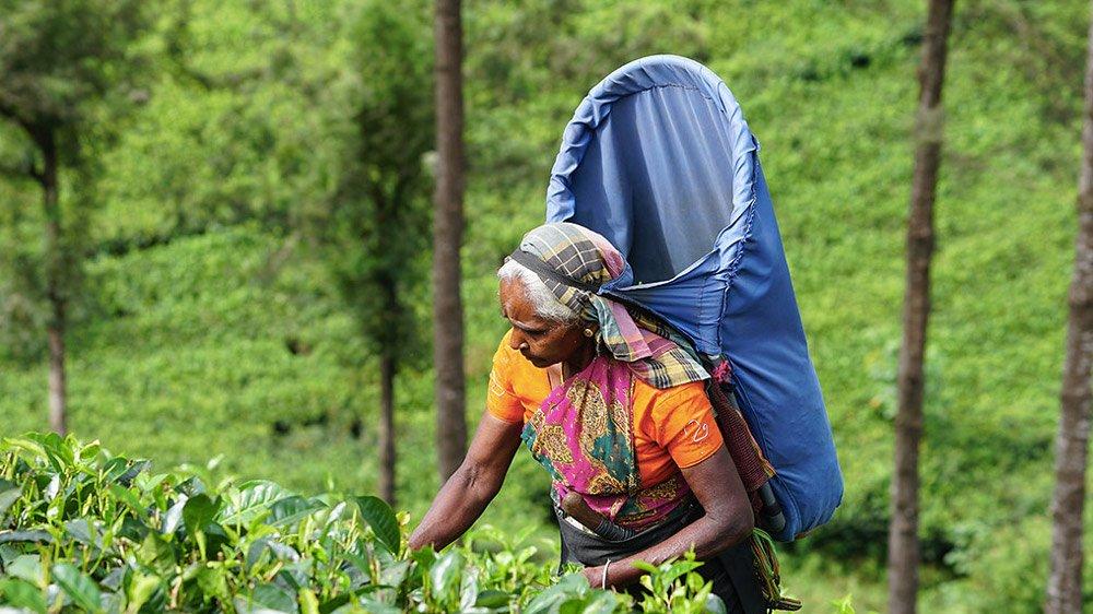 Чайные плантации - Шри Ланка